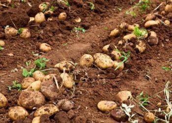 Groene Aardappelen giftig